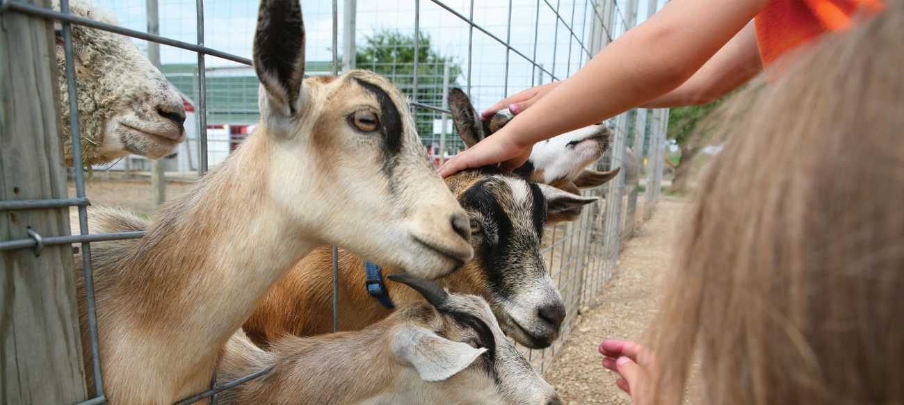 Westview Orchards and Adventure Farms petting goats