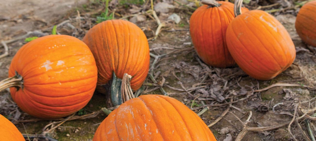 Pumpkins at Westview Orchards Adventure Farm & Winery