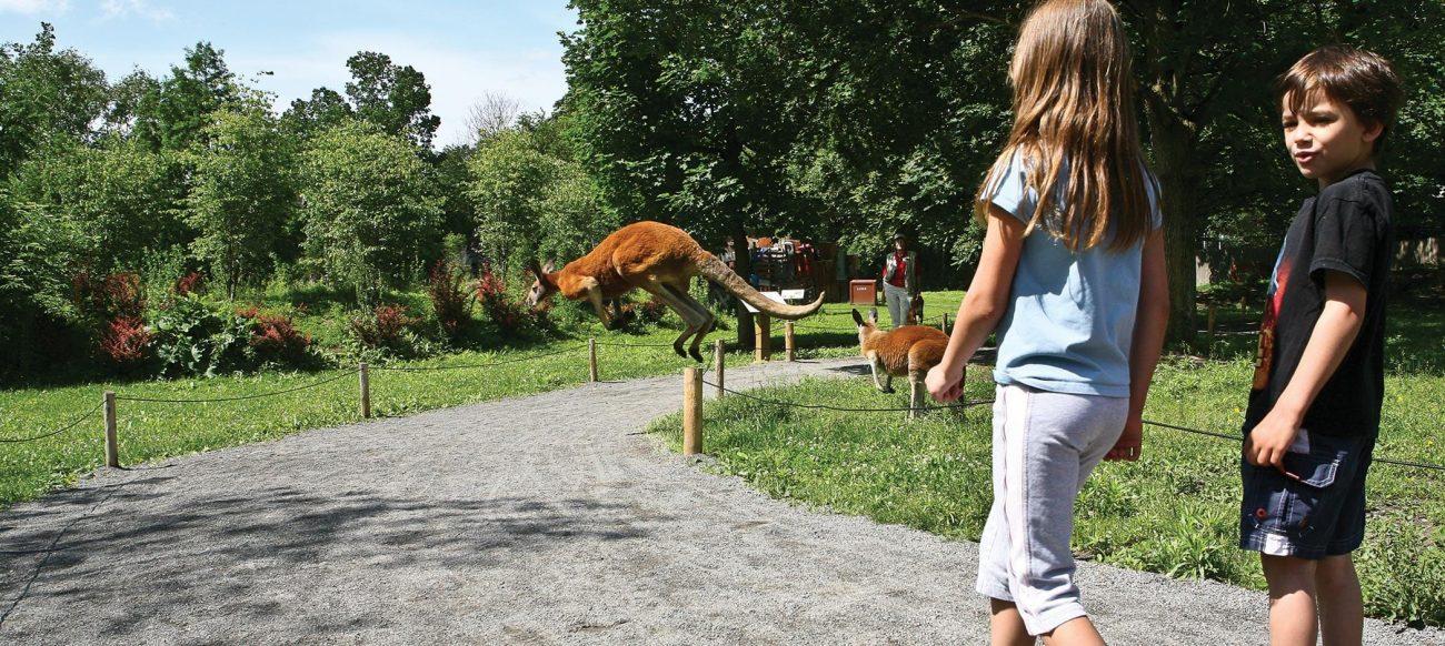 Detroit Zoo Kangaroo Hop