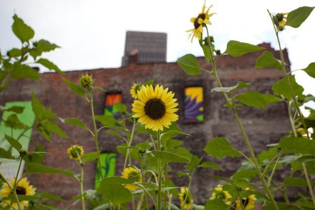 Lafayette Garden sunflowers
